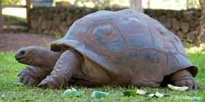 Mauritius-Riesenschildkröte